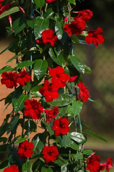 sun parasol favorite  plant  tpie greenhouse canada