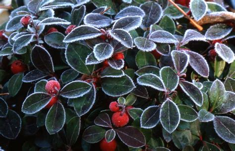 buy gaultheria procumbens creeping wintergreen teaberry