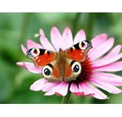 Free Scenery Wallpaper – Includes A Peacock Butterfly Flower Is It