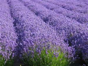 the total guide to growing harvesting using lavender