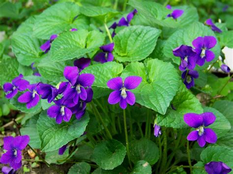 A Violet by Flower Violets And Pansies Three Hundred And Sixty Six