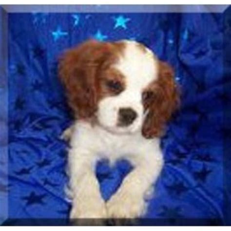 rescue kentucky cavalier king charles spaniel breeders in kentucky freedoglistings