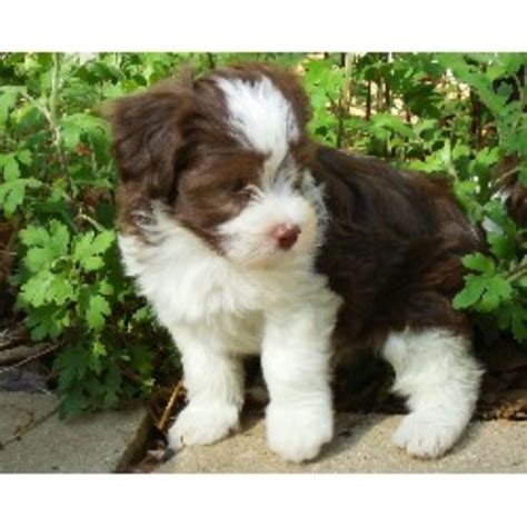 havanese rescue pa reputable havanese breeder in pa breeds picture