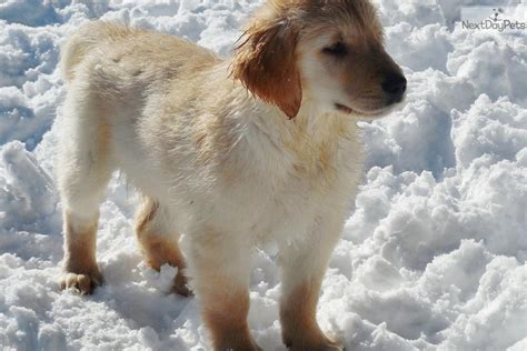 golden retriever breeders in maine akc registerable golden retriever puppies breeds picture