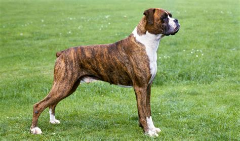 brown boxer puppy boxer dogs breed information personality pictures