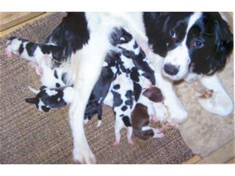 springer spaniel puppies wi springer spaniel puppies in wisconsin