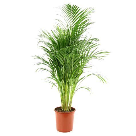 plantes d interior ar 233 ca h 120 130cm autres marques jardinerie truffaut