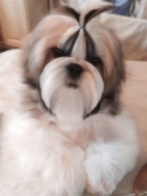 shih tzu breeders in ct shih tzu for sale akc marketplace