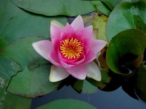 ninfea fiore di loto fiore di loto fiore di loto ninfea