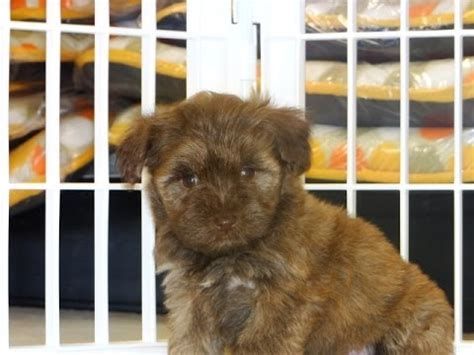 puppies for sale green bay wi schnorkie puppies for sale in green bay wisconsin wi eau waukesha