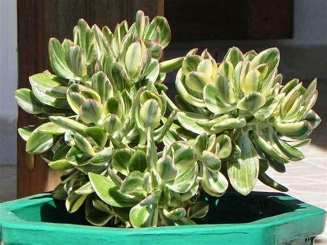 crassula ovata variegata variegated jade plant world