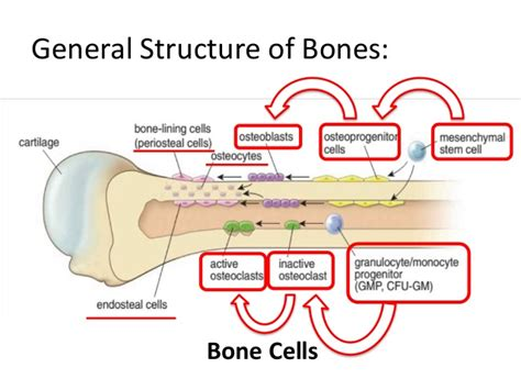 generic structure of biography everything you need to know about moa of bone targeted
