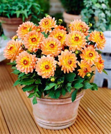 dalie in vaso come coltivare la dalia in vaso o in giardino tecnologia