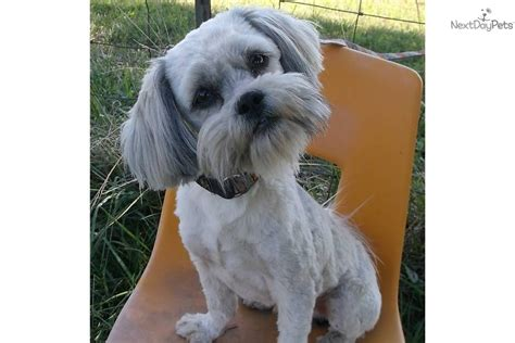 pictures images grooming styles female mal shi fe adopt rags a mal shi malshi puppy for rags the malshi