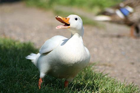 duck breeds list of duck breeds