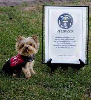 yorkie breeders in new jersey terrier puppies in south jersey dogs in our photo