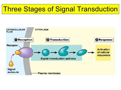 cell communication diagram three stages of cell signaling winnacunnet biology