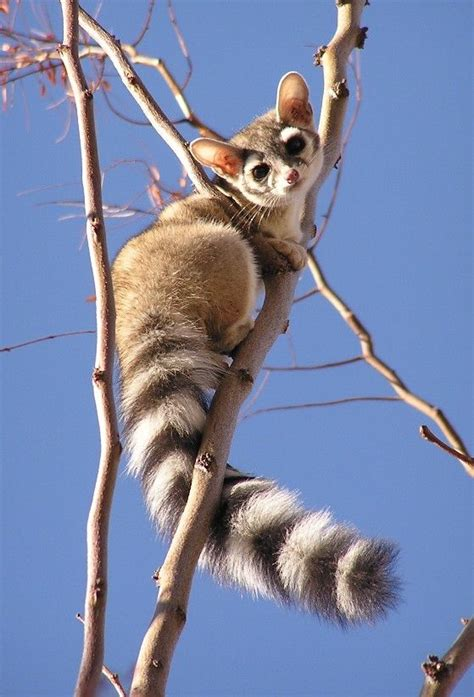 ringtail cat cat animal and creatures