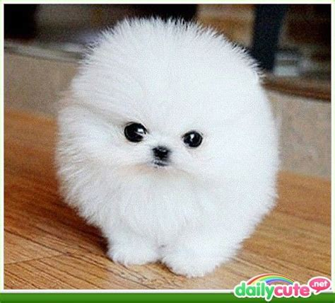 fluffiest pomeranian dogs the tiniest and fluffiest of all tiny fluffy dogs sooo