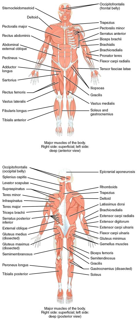 this diagram of the human cycle shows that diagram leg diagram labeled