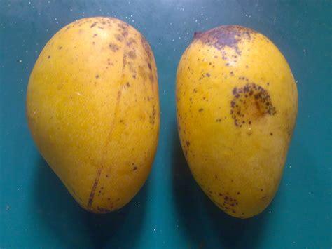Jual Bibit Mangga Chokanan bibit tanaman buah unggul tamora unggul nursery mangga