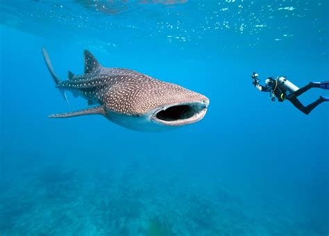 dive with whale sharks whale shark diving best places to swim with whale sharks