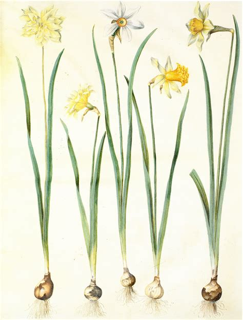 file gc24 narcissus pseudonarcissus and poeticus jpg