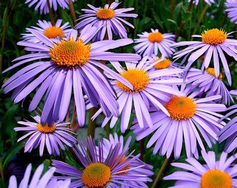 aster tongolensis michelmas daisy  photo  pixabay