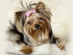 price of yorkie puppies without papers how much does a yorkie puppy cost terrier price ranges yorkie
