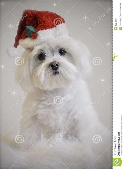 white maltese puppy white maltese royalty free stock image image 18043806