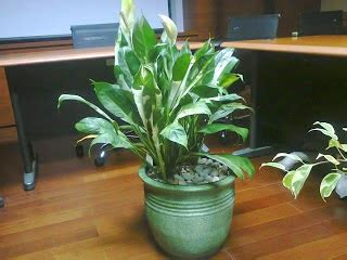Penetralisir Udara 15 tanaman hias sehat pembersih udara ruangan segaar