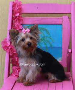 yorkie teddy haircut search results for off the face styles best for black