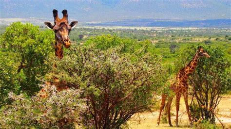 imagenes de jirafas comiendo hojas la jirafa caracter 237 sticas h 225 bitat alimentaci 243 n qu 233 come
