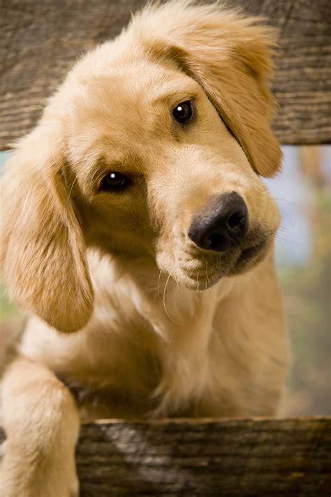 puppy language language decoded 3 ways your puppy communicates golden retrievers