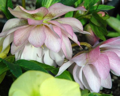 product viewer helleborus cotton candy