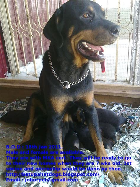 rottweiler puppies for sale in pa cheap husky puppies for sale in pa cheap breeds picture