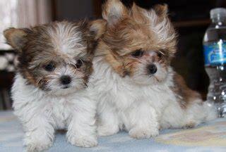 mi ki puppy miki facts temperament diet puppies pictures