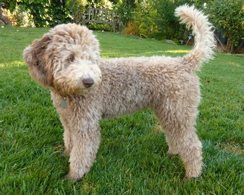 how much are labradoodle puppies golden gate labradoodles authentic australian labradoodles labradoodle baby s