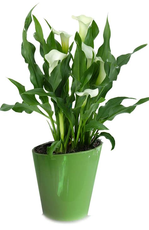 calla plant care 28 images learn how to grow and care for calla lily flowers moving calla