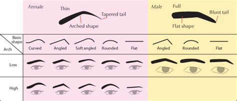 a visual guide to eyebrow shapes human anatomy fundamentals advanced facial features