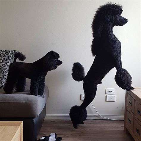 standard poodle grooming styles 57 best creative styling mypetgroomer co uk images on