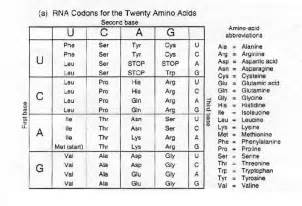 dna to rna codons related keywords dna to rna codons