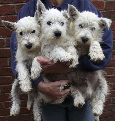 westie puppies for sale 3 beautiful westie puppies for sale market rasen lincolnshire pets4homes