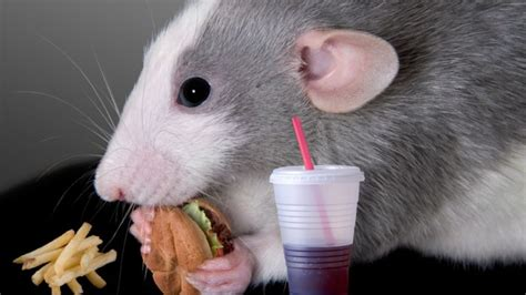 Would You Eat A Rat by Rats Can Probably Blame Their Binge On Their