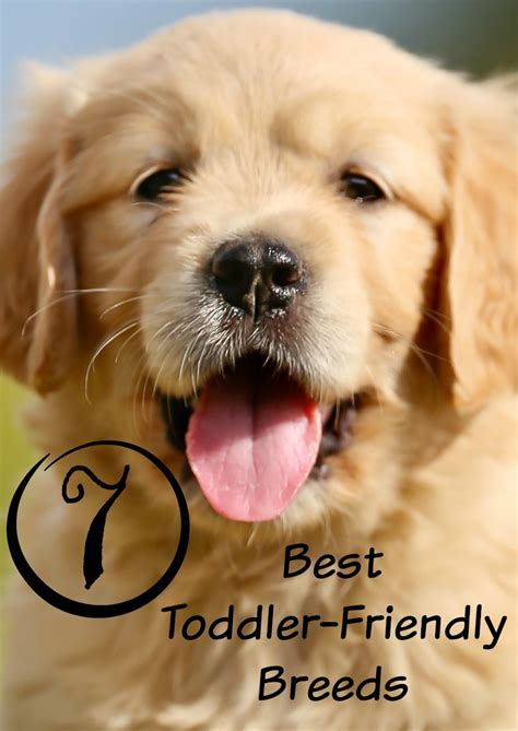 friendly breeds what are the best puppies for toddlers