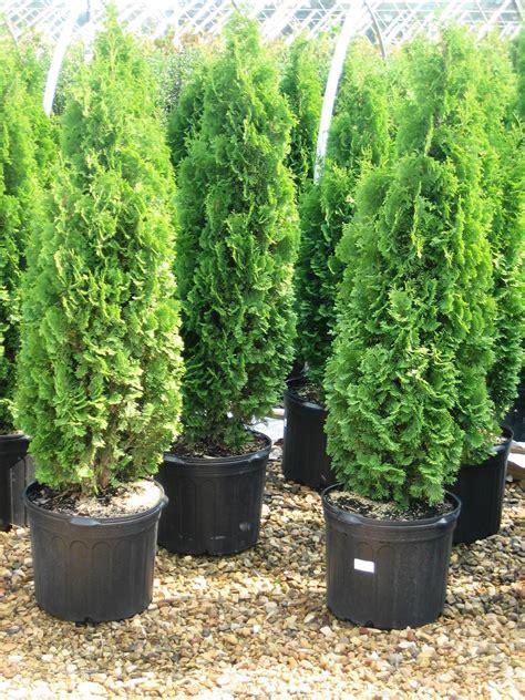black walnut resistant trees shrubs studyblue