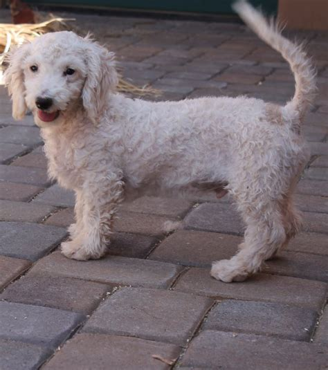 poodle mix puppies rescue tobie poodle mix puppy m a i n animals in need rescue in