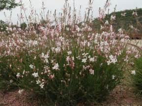 Backyard Landscaping San Diego Gaura Lindheimeri Prachtkaars Herbaceous Plant Id Hort