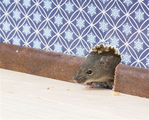 Mouse In The House by Rodents Fort Wayne Allen County Department Of Health
