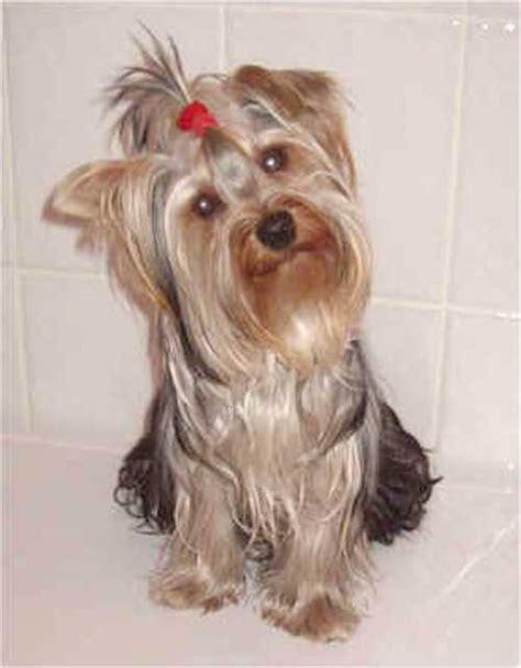 yorkie terrier info terrier breed photos information
